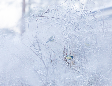 Small bird in snowy bush at cloudy winter day Stock Photo