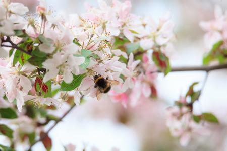 Bumblebee on apple tree flower nature Stock Photo