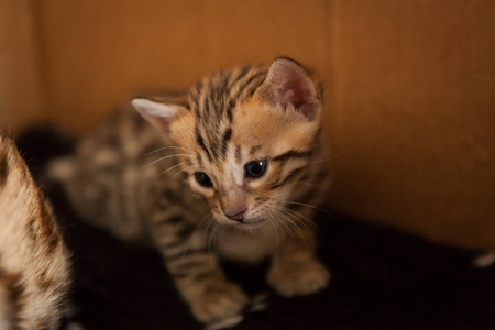 Cute young bengal kittens at home