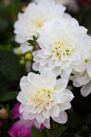 Beautiful dahlia flowers at garden
