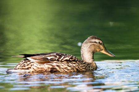 Female mallard swimming in lake