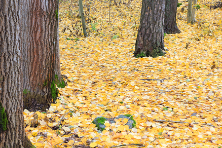 Fallen yellow leaves at autumn forest in Finland