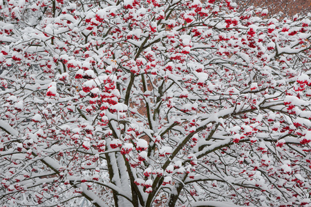 Rowan berries on tree after snowfall at winter Stock Photo