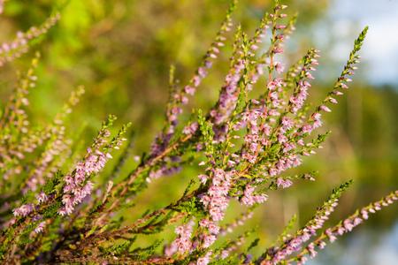 Flowering calluna vulgaris at sunlight