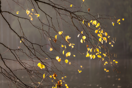 Birch tree branch with few leaves in autumn