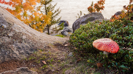 Amanita muscaria toxic mushroom in forest Stock Photo