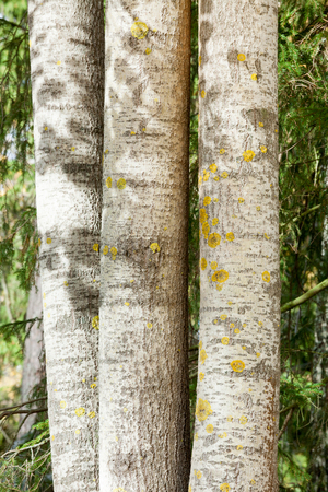 Aspen tree trunks side by side nature detail Stock Photo