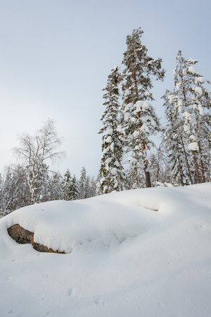 Snowy winter forest and snow covered trees in Finland