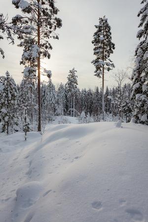 Bosque de invierno cubierto de nieve y árboles cubiertos de nieve en Finlandia Foto de archivo