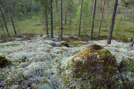 Lichen in forest landscape at summer