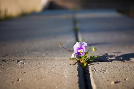 Violette Blume wächst zwischen Steinpflaster Nahaufnahme Standard-Bild