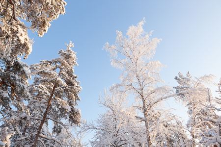 Trees covered in snow at evening in winter forest