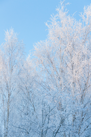 Birch tree top covered in frost at cold winter day