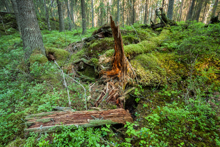 Old tree trunk rotting in the forest Stok Fotoğraf - 122720421