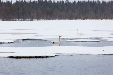 Swans on partially frozen lake in Finland at spring Stock Photo - 123854991