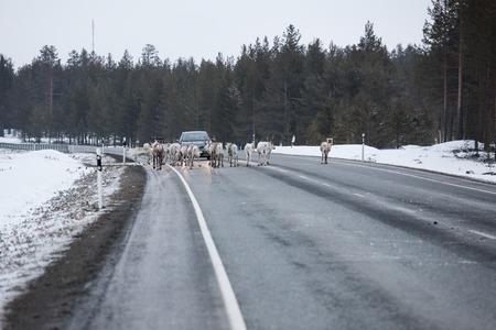Reindeer flock in the way at road winter lapland finland