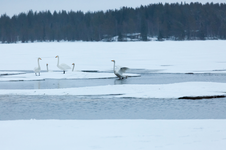 Swans on partially frozen lake in Finland at spring Stock Photo - 123856125