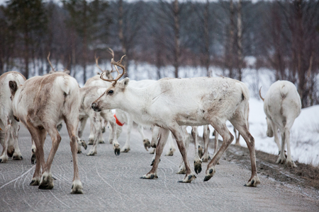 Reindeer flock in the wild at winter lapland finland Stock Photo - 123856137