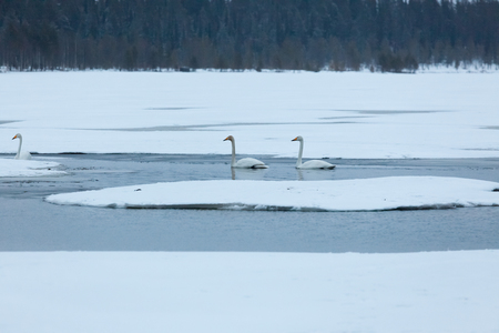 Swans on partially frozen lake in Finland at spring Stock Photo - 123856143