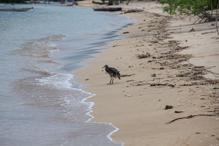 Dark heron bird in beach at Bali Indonesia