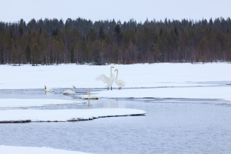 Swans on partially frozen lake in Finland at spring Stock Photo