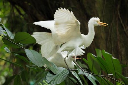 Cattle egret bird courtship display