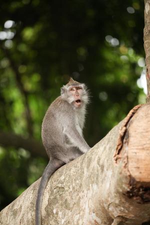 Macaque monkey in Ubud Bali indonesia 版權商用圖片