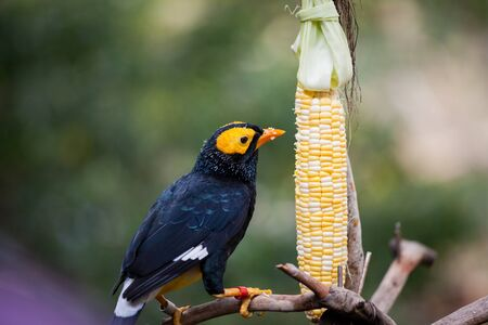 Yellow faced myna eating corn cob at Hong Kong park aviary Banco de Imagens