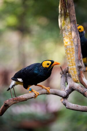 Yellow faced myna eating corn cob at Hong Kong park aviary 版權商用圖片
