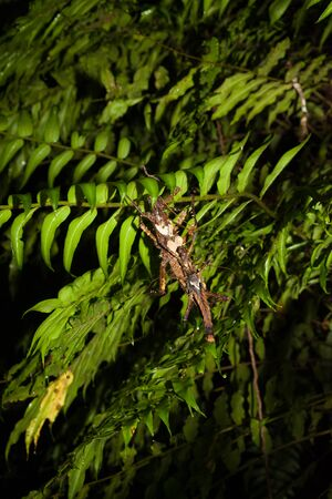 Insects mating at night in rainforest Gunung Mulu Borneo Malaysia 免版税图像