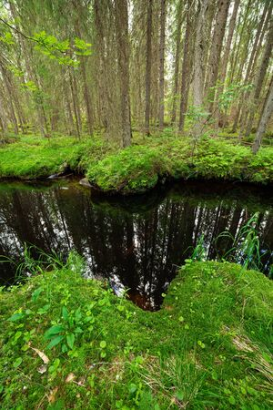Still water river in spruce forest at summer day