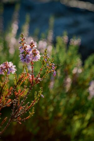 Heather Calluna Vulgaris in the forest wild flowers