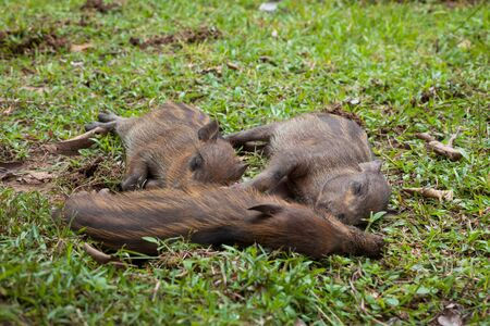 Baby wild boars sleeping on grass peacefully Banco de Imagens