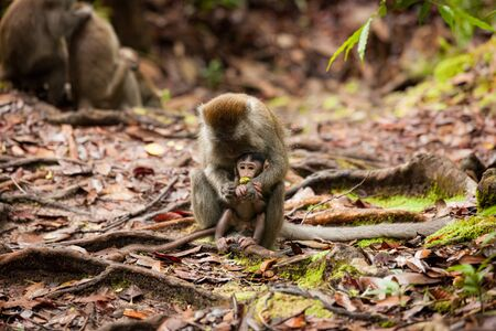 Wild long-tailed macaque in forest Bako national park sarawak malaysia Stock Photo
