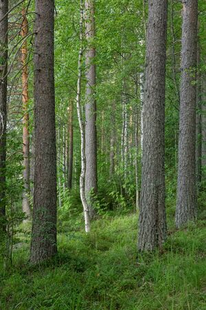 View of lush forest at summer day in Finland
