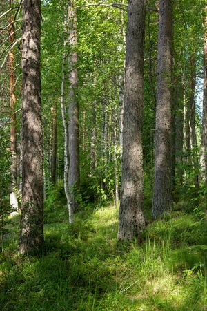 View of lush forest at summer day in Finland Standard-Bild - 140372472