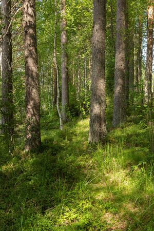 View of lush forest at summer day in Finland Standard-Bild - 140372299