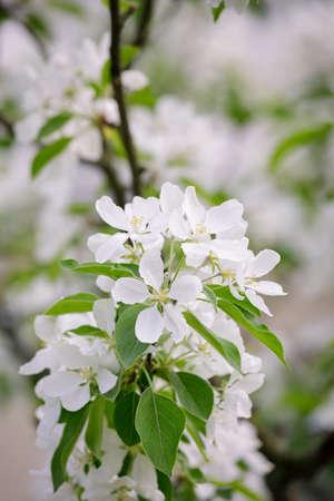 Beautiful apple tree flowering in city park close-up 免版税图像