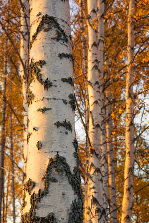 Birch tree and foliage in autumn colors at sunny day 免版税图像