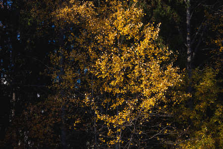 Aspen tree and foliage in autumn colors at sunny day