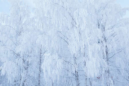 Birch tree top covered in frost snow 免版税图像