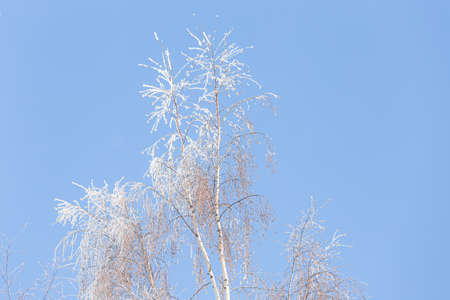 Tree branches covered in frost snow cold winter day