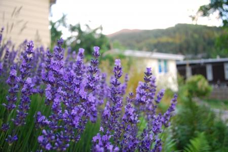Violet flowers in queenstown photo