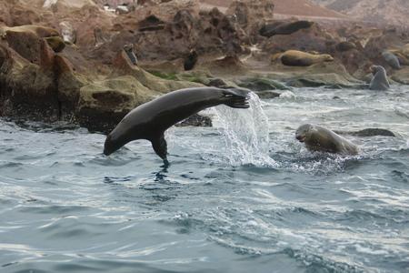 California sea lion, Zalophus californianus, Sea of Cortez, Los Islotes, Baja California Sur, Mexico