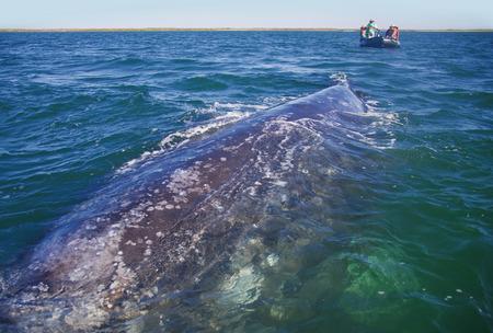 Gray Whale, Eschrichtius robustus, Boca de la Soledad, Baja California Sur, Mexico LANG_EVOIMAGES