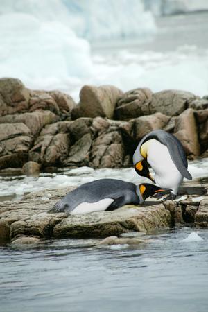 King Penguins (Aptenodyptes patagonicus), Falkland Islands LANG_EVOIMAGES