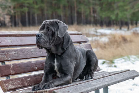 The Cane Corso italian lies on a bench looking ahead. This dog is an Italian breed of mastiff. It is used for personal protection, tracking, law enforcement, as a guard dog, and as a companion dog.