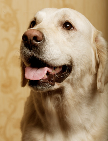 labrador teeth: beautiful golden retriever dog photographed at home