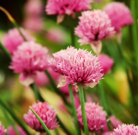 pink  clover in the field photo