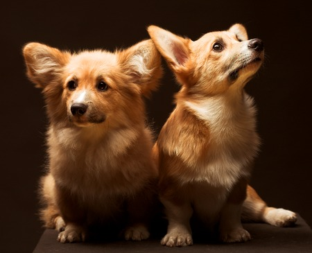 k9: Two puppies. Stock Photo
